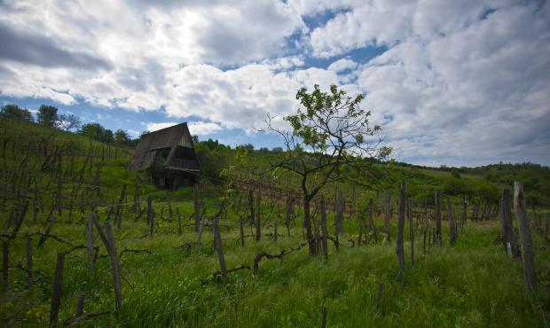 Vignes à Tokaj Hongrie