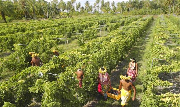 Vigne de Tahiti